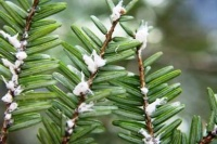 State declares war on nasty little bugs that eat hemlock trees
