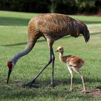 Hunting Sand Hill Cranes Wrong
