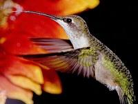 Hummingbird Seminar and a remedy for moles and Japanese beetles