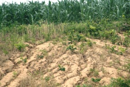 Dry furrows at edge of the corn crop