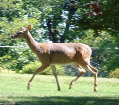 Motorists advised to watch for deer on the move