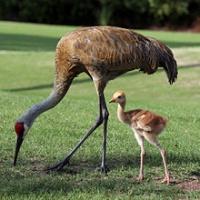 Hunting Sand Hill Cranes Wrong