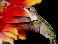 Hummingbird Seminar and a remedy for moles and Japanese beetles