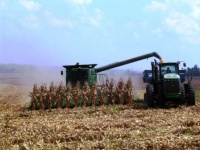 Corn harvest down by 50%