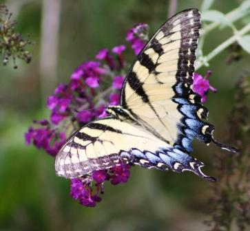 Swallowtail Butterfly with blue tail